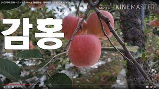 [사과재배] 감홍 사과ㆍ당도 우수 품종특성ㆍ재배방법 ㆍ…