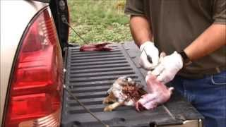 Good Shot & Bad Shot - Cottontail Rabbit Cleaning