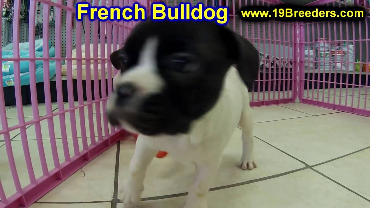 French bulldog puppies kansas city