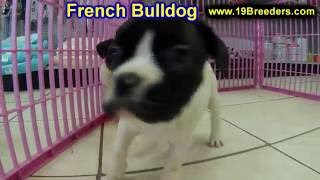 French Bulldog, Puppies, For, Sale, In, Kansas City, Missouri, Mo, Ballwin, Wentzville, University C