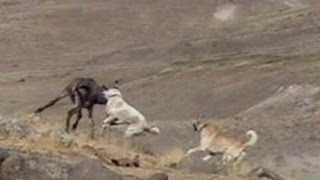 Dogs attack donkey