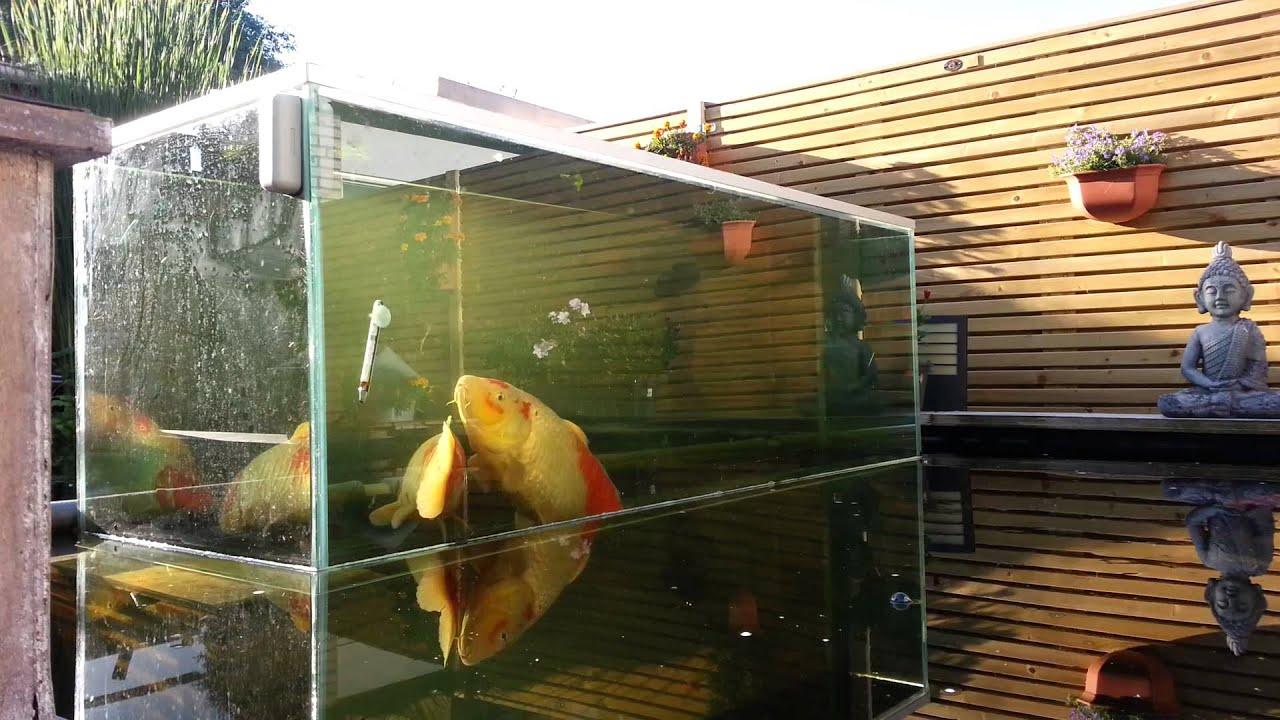 Grote koi in aquarium   YouTube
