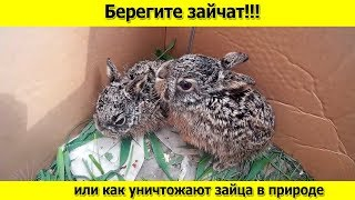 Берегите зайчат или как уничтожают зайца в природе