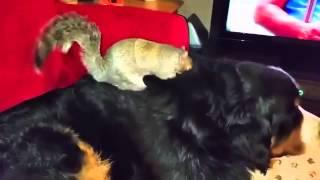 Жестокая белка прячет орех в собаке! ужас!