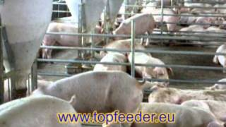Automatic Feeders For Pigs - Topfeeder.eu.mpg