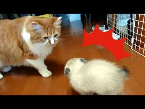 Ep3. 先住猫と新入り子猫の遭遇。 New kitten meets big cat for the first time.
