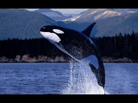 Great White shark Vs Killer Whale - National Geographic HD