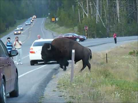 Yellowstone Bison and Silverwood Timber Terrors