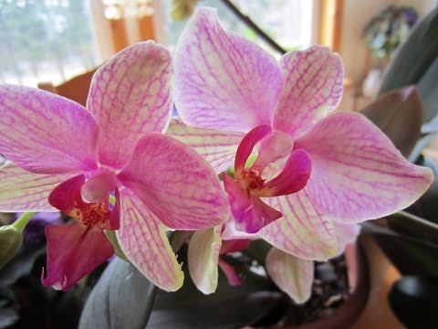Orchids Bloom Constantly