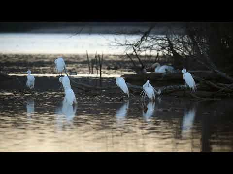 Egrets wade in the water during sunset at Kensington Metropark