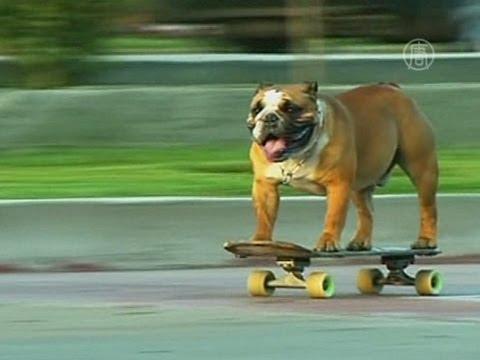 Бульдог-скейтбордист стал звездой Интернета (новости)