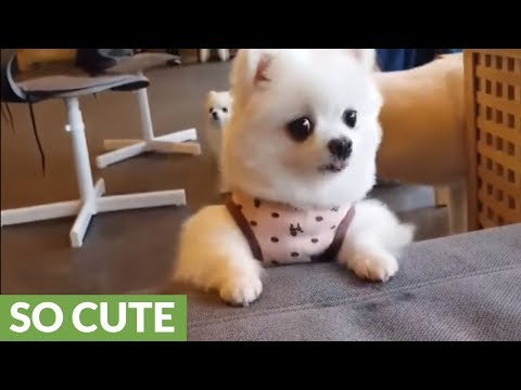 Pomeranian goes to great lengths to fetch treats