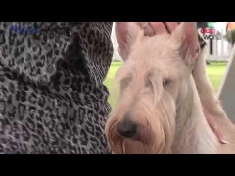 Bath Dog Show 2016 - Terrier group