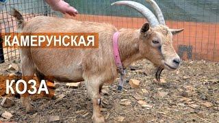 видео Породы карликовых коз