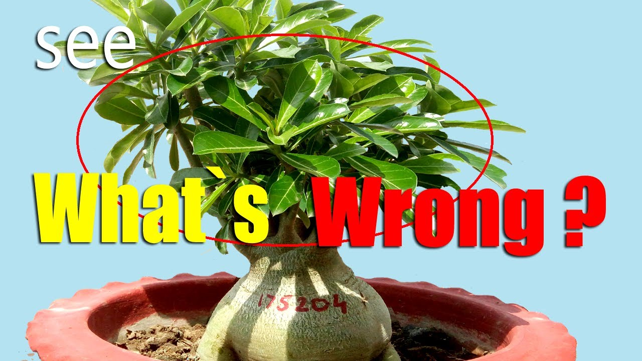 Adenium Repotting (How Careless Trimming Results in Odd Canopy)