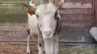 Jak wydoić kozę? [Wysokie Obcasy] | Gazeta Wyborcza