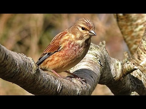 Linnet - Birds on The Garden Tree Branch