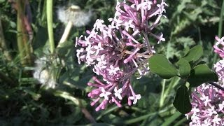 Mini Lilac Tinkerbelle (a dwarf lilac Syringa variety)