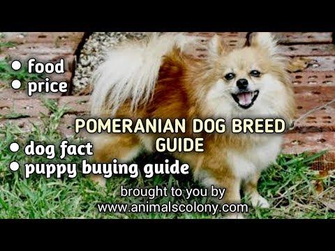 POMERANIAN DOG GUIDE II FOOD II PUPPY BUYING II VACCINATION II PRICE II MANY MORE II ANIMAL COLONY