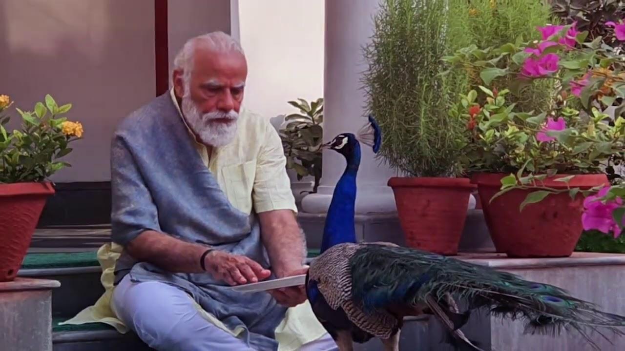 Download Precious moments: PM Modi feeding peacocks at his residence