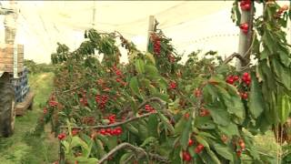 The  English Cherry - A Story of Farming Revival