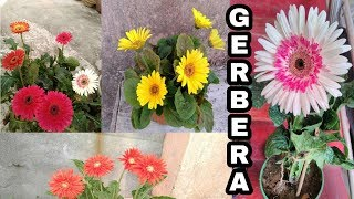 || Gerbera plant care, by Garden Gyan ||