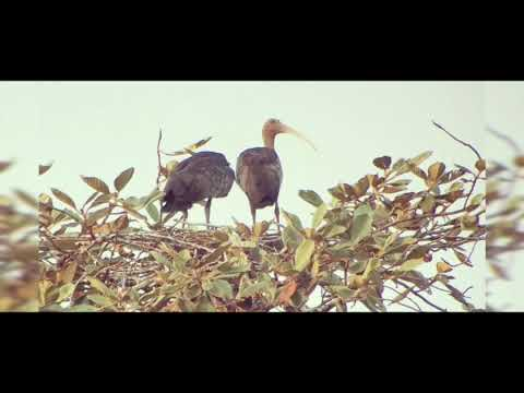 Giant Ibis video by ladong bird guide at SVC