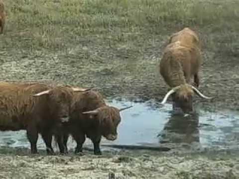 Natuur/Nature 8: Schotse Hooglanders / Scottish Highland Cows October 12 2010