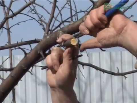 Видеокурс Обрезка плодовых деревьев ! Когда, как