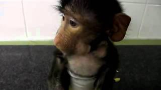 Bezauberndes Pavianbaby sagt Hallo