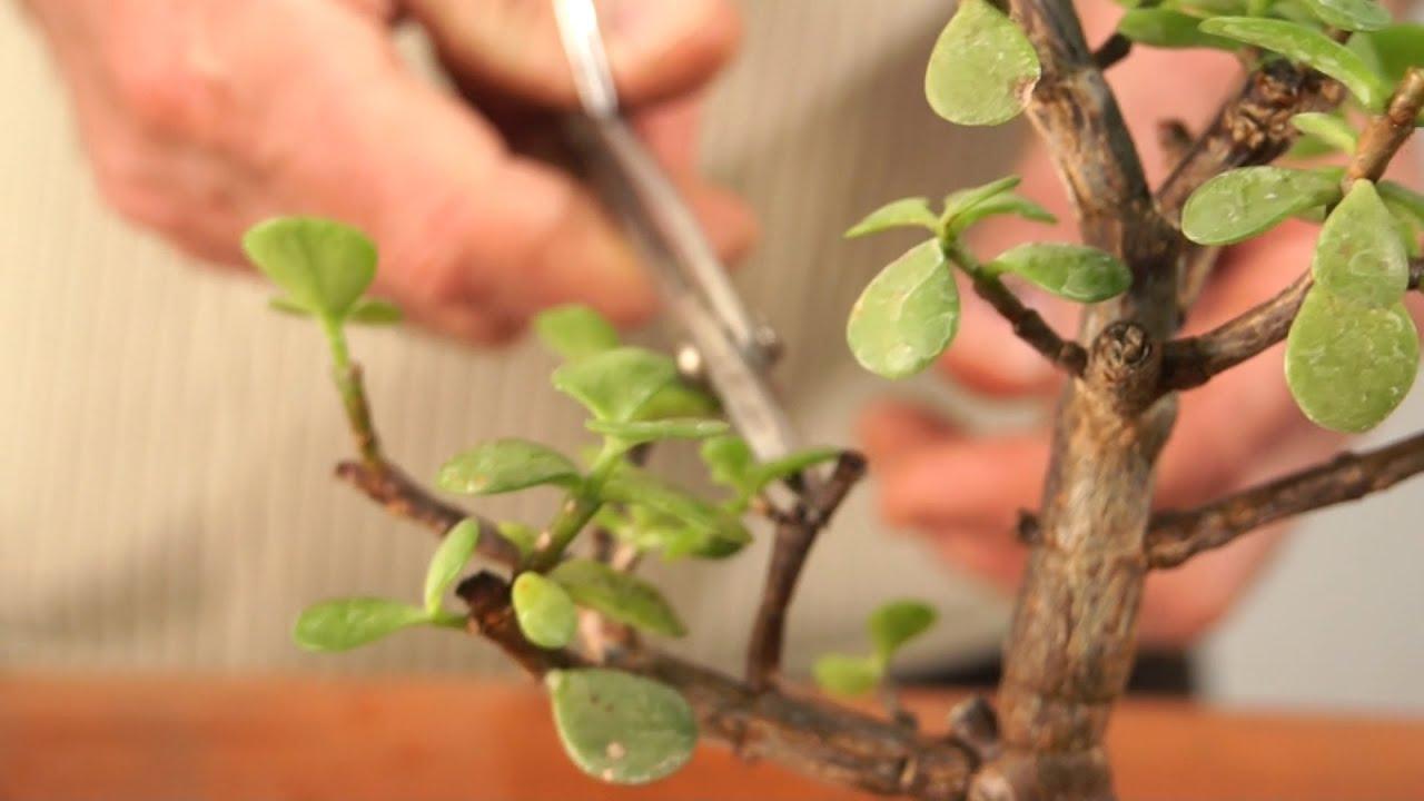 La cimatura di un bonsai di pianta grassa dopo il rinvaso for Bonsai pianta