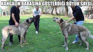 KANGAL IN BABASINA GÖSTERDİĞİ BÜYÜK SAYGI ( Kangalın Efsane Gücü ve karakteri ) Strongest dog