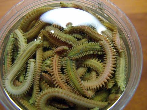 Как сохранить червя нереиса