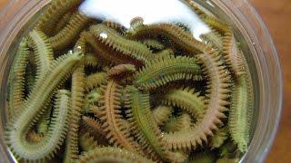 Nereis & Alcohol. Сохранение нереиса (морского, лиманного червя) в водке.