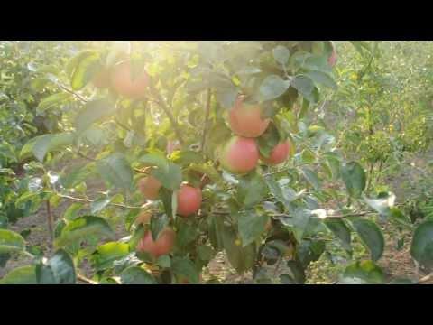 Урожай трехлетних яблонь - флорина и другие