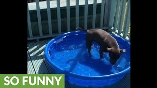Pit Bull barks at her shadow in the pool