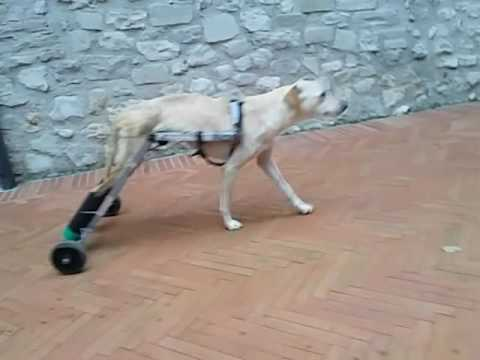 Carrellino fai da te per cane paralizzato youtube for Impermeabile per cani fai da te