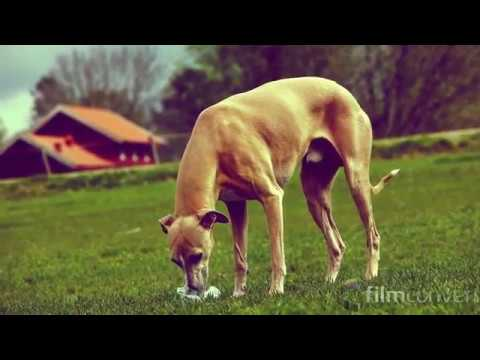 Whippet - drinking water