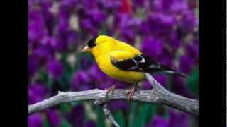 gorrioncillo pecho amarillo