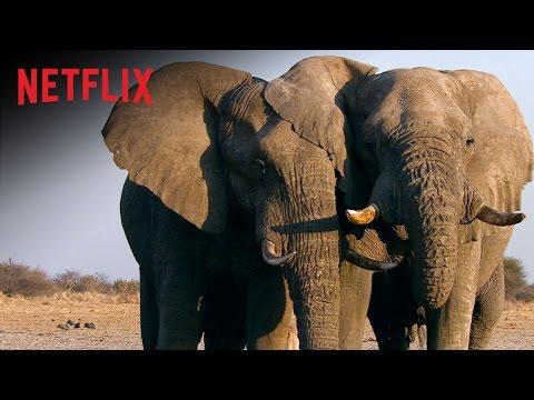 O Extermínio do Marfim - Trailer Oficial - Netflix Documentary [HD]