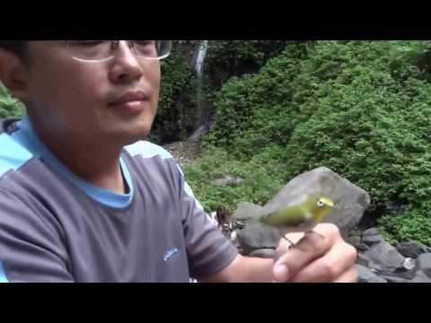 Pleci Paling Jinak di Dunia Jenis Japanese White Eye (Zosterops Japonicus)