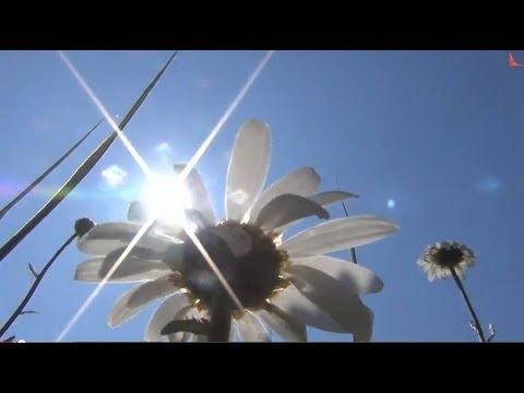 Ромашка лилия и лекарственные лесные травы
