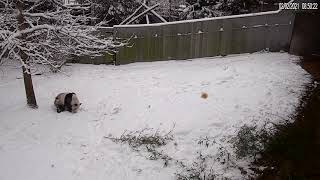 Giant Panda Tian Tian Has a Ball in the Snow