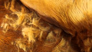 Grooming Jack The Golden Retriever With Scaredy Cut