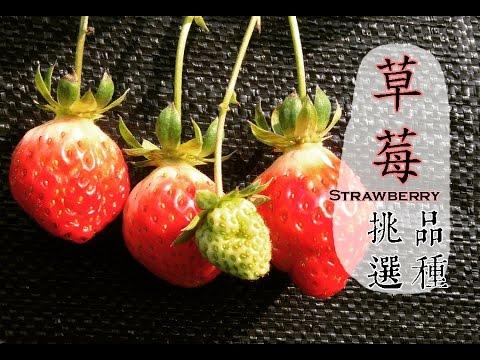 【冬】草莓這樣挑選最安心!