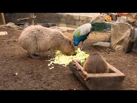 孔雀VSカピバラ (伊豆シャボテン動物公園)