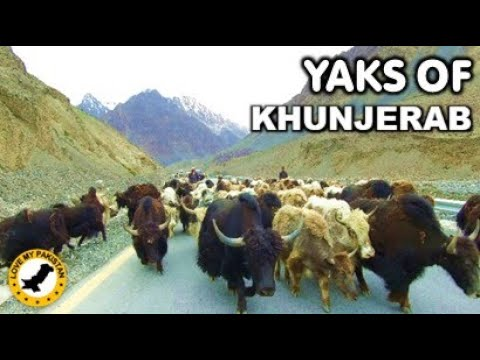 Yaks Of Khunjerab - Gilgit Baltistan - Pakistan