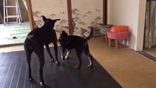 ピットブル(1歳女の子)と琉球犬ミックス(2ヶ月女の子)の多頭飼いしてい...