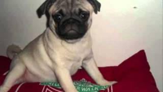 my pugs 1 year old bday video
