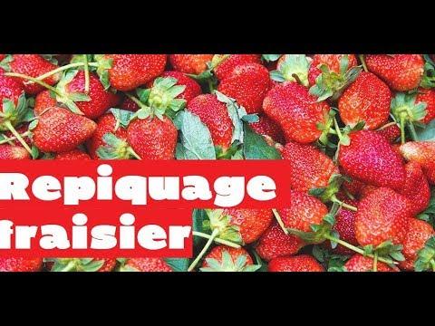 fraisiers : comment bien planter les fraisiers grimpants - youtube